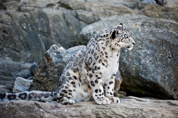 Información sobre el leopardo de las nieves