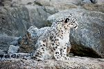 Snow Leopard Sitting In Rocks