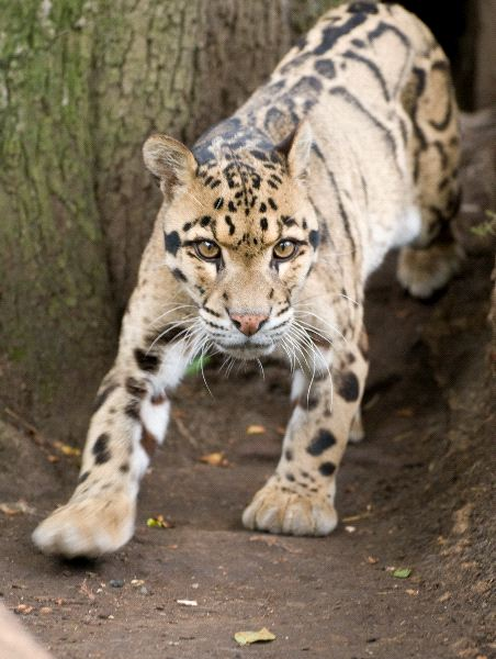 Startled Clouded Leopard Looking At The Camera