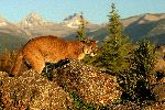 Wild Cougar in Morning Light