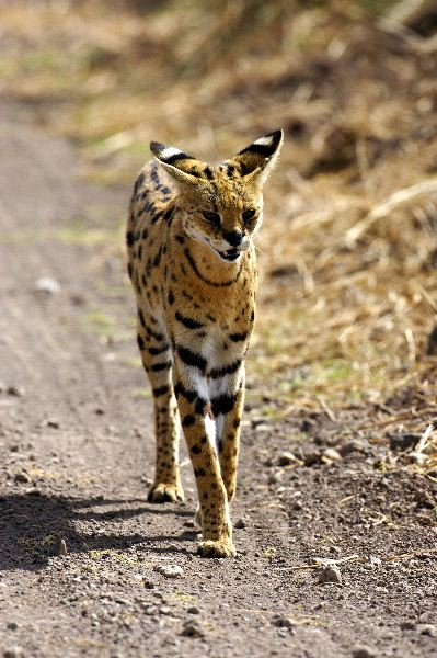 African Wild Cat With Long Ears