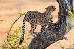 Young Cheetah Climbing A Tree