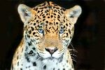 Young Jaguar With Amazing Blue Eyes