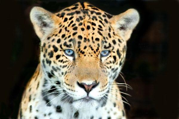 joven_jaguar_de_ojos_azules_600_foto
