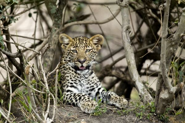 Young Leopard In Serengeti Africa