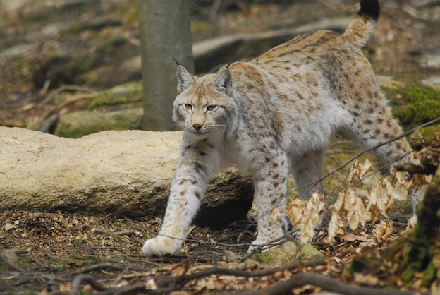 Information about Lynx anatomy