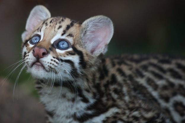Facts about Ocelot or Dwarf leopard