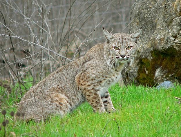 Bobcat characteristics