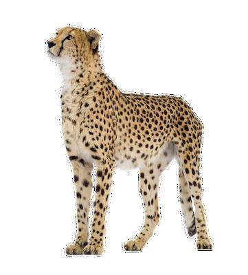 cheetah_front