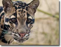 clouded-leopard-visual
