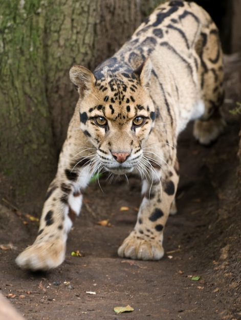 Clouded Leopard, a vulnerable species