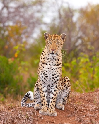 Leopard in nature reserve in South Africa