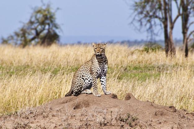 Leopard Home Range