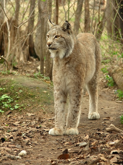 Lynx home range