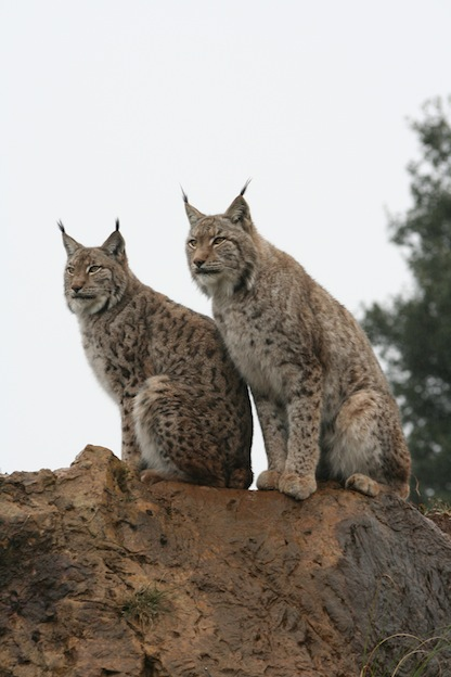 Iberian lynx, a critically endangered species