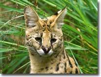 serval-visual