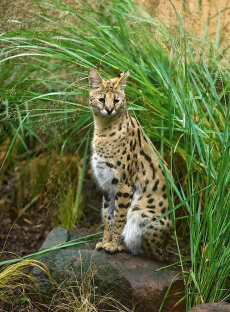 African cat serval in tall grass