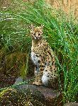 serval_africano_en_hierba_alta_150_imagen