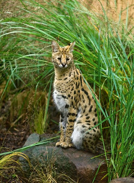 African Serval In Tall Grass