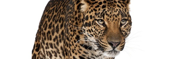 Leopard Anatomy