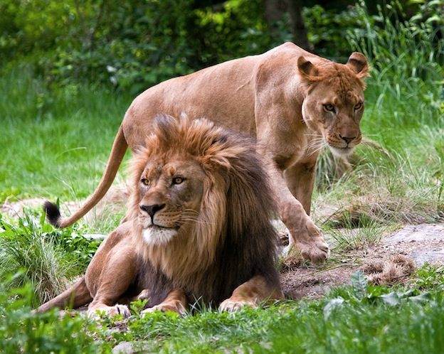 Lion sexual dimorphism