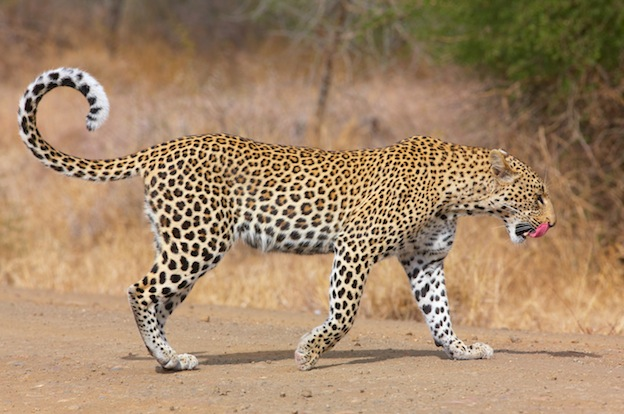 Leopard Anatomy - Feline Facts and Information