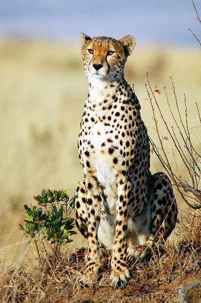 Beautiful Adult Cheetah in Kenya