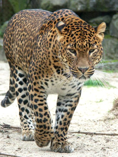 Beautiful Leopard And His Large Whiskers
