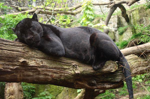 Marvelous Black Jaguar Taking A Rest