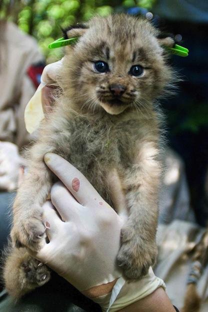 Canada Lynx or Canadian lynx- Lynx canadensis