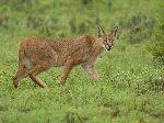 Caracal_en_Serengueti_África_150_imagen