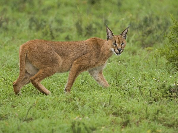 Caracal In The Serengeti Africa