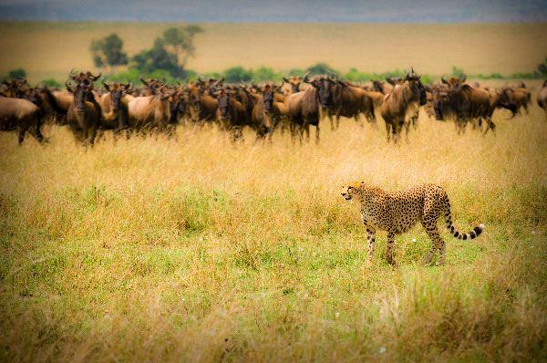Cheetah And Wildebeests in Maasai Mara