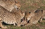Cheetah Grabbing For Best Piece Of Meat