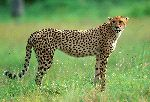 Cheetah In South African National Park