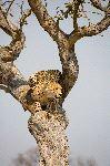 Cheetah Ready to Jump from Tree