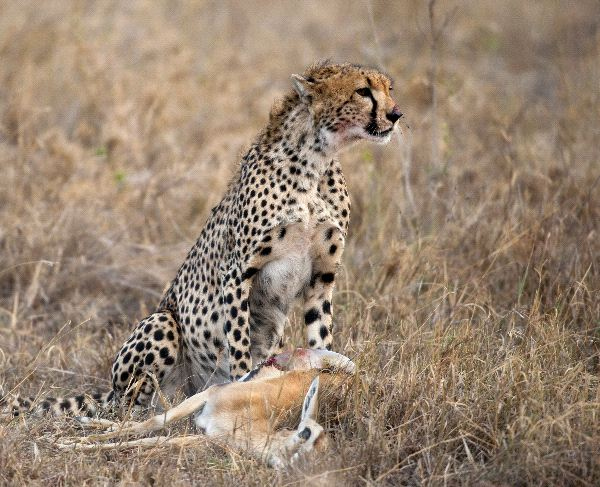 Cheetah Sitting And Eating Prey
