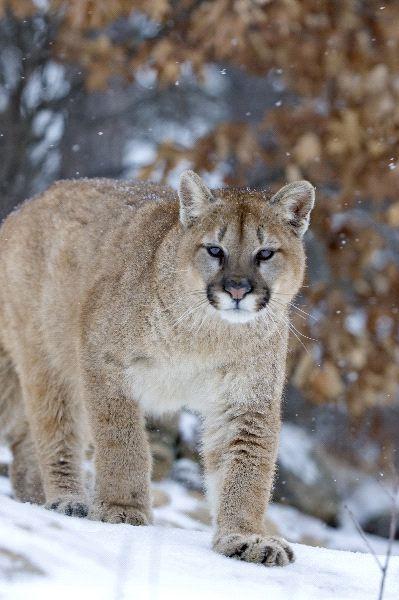 Cougar In A Light Snowfall Minnesota