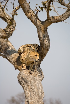 Cheetah up tree in South Africa