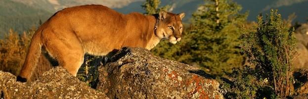 Datos Sobre el Puma