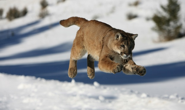 What do cougars eat?