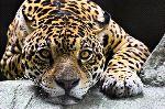 Jaguar Resting Close-Up