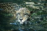 Jaguar Swimming In A River In South America