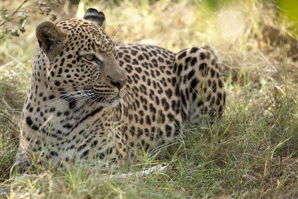 Leopard On Alert