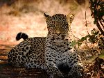 Leopard Resting In The Shade