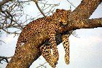Leopard Resting on Tree