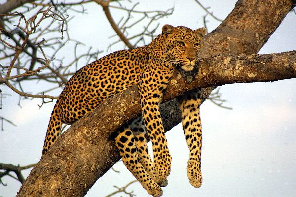 how to draw a leopard on a tree