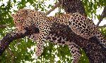 Leopard Sleeping On a Tree