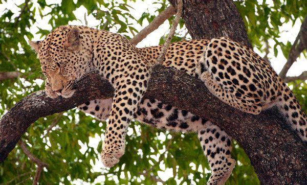 Leopardo_durmiendo_en_un_árbol_600_foto