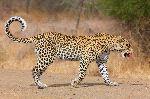 Leopard Walking On The Road